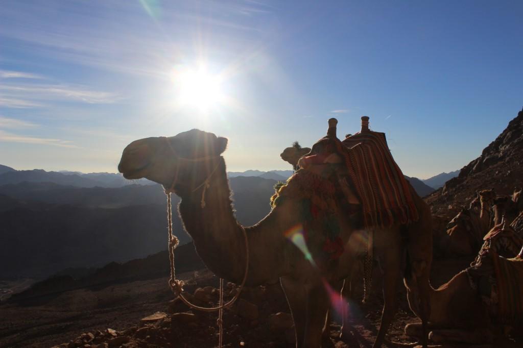 Верблюды, отдыхающие после подъема на гору Моисея