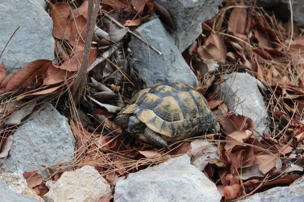 Черепаха карета-карета в Олимпосе
